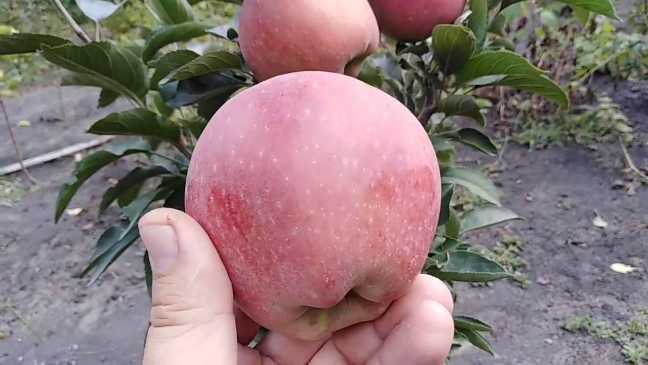 Ред чиф сорт яблок