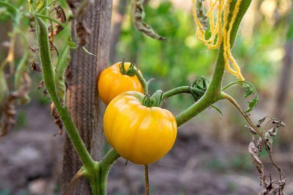 Помидоры с необычайной расцветкой, родом из сша — «король красоты» — описание сорта томата