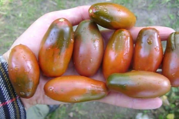 Старый знакомый «новичок» — характеристики и описание универсального сорта томата
