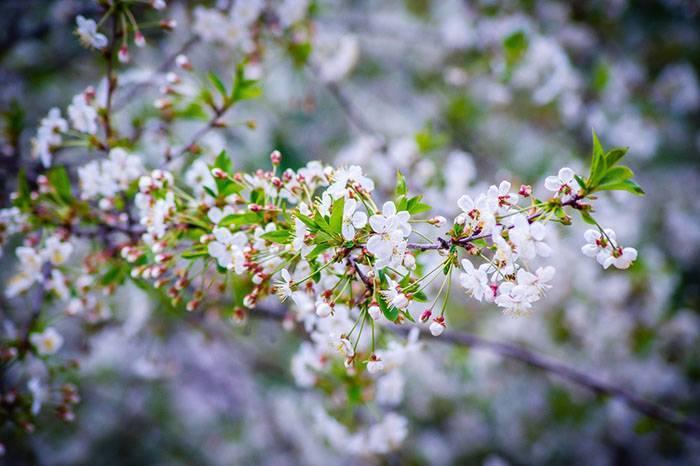 Вишня перестала цвести и плодоносить: причины, способы борьбы