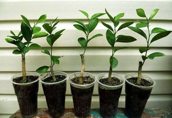 Как вырастить персик из косточки в условиях домашнего сада?