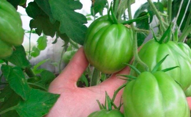 Сладкий томатный тяжеловес – описание сорта «сахарный пудовичок» от сибирского сада