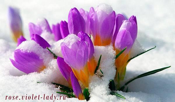 Когда посадить тюльпаны к 8 марта в домашних условиях