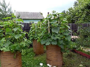 Как вырастить помидоры в бочке? просто! с одного куста - 30 кг помидор!