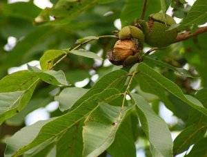 Как лечить дерево грецкого ореха от болезней и вредителей