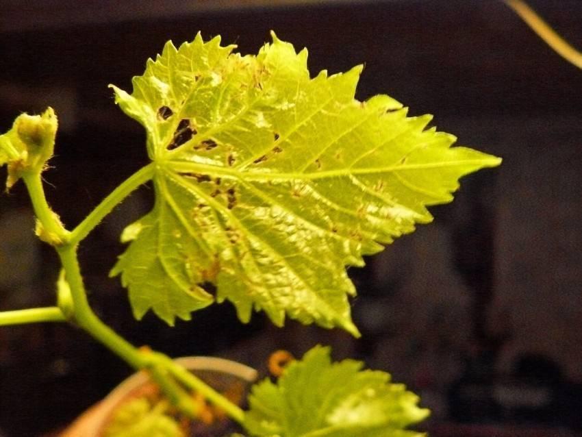Подробная схема обработки винограда от болезней и вредителей — график, календарь работ, основные этапы