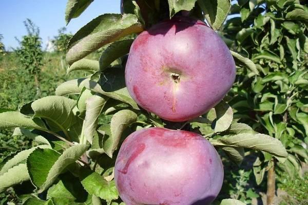Описание сорта колоновидной яблони Фаворит, достоинства и недостатки