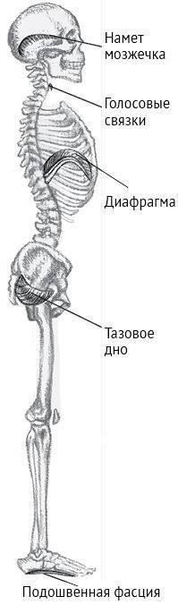 Система органов движения. скелет