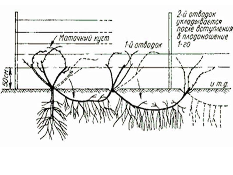 Выращиваем виноград из зеленого черенка