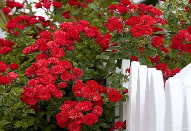 Роза фламентанц: описание сорта, посадка, уход