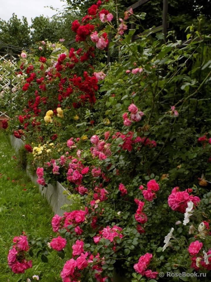 Выращиваем кустовые розы. руководство к действию.