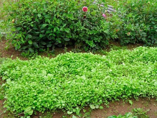 Редька масличная — описание растения и технология возделывания как сидерата