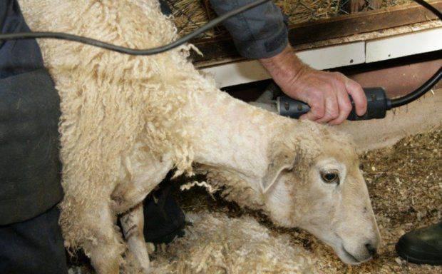 Когда и как правильно стричь овец, пошаговая инструкция и что использовать