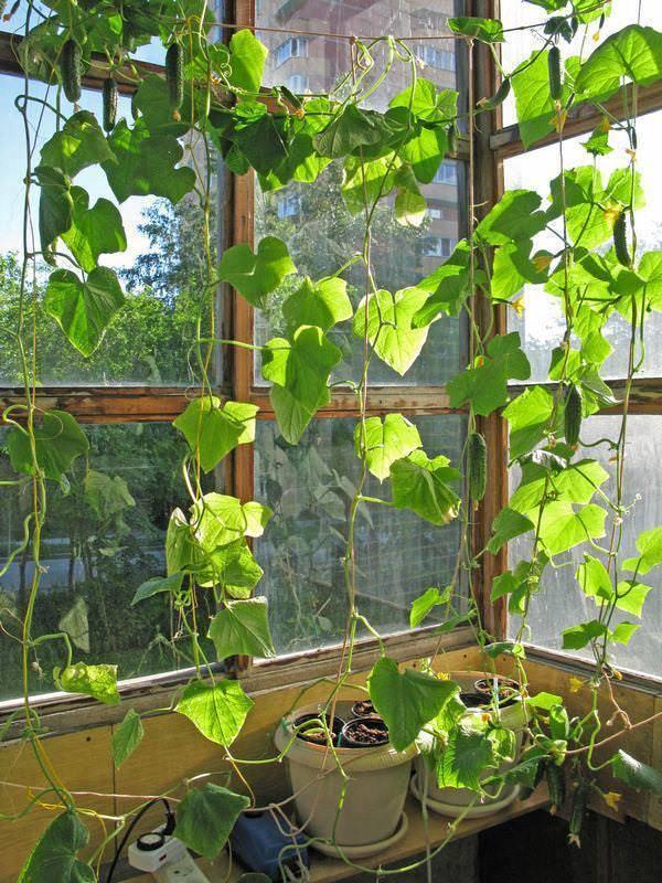 Особенности выращивания и ухода за огурцом Балконный F1 на окне