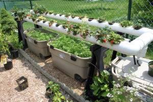Выращивание петрушки на гидропонике