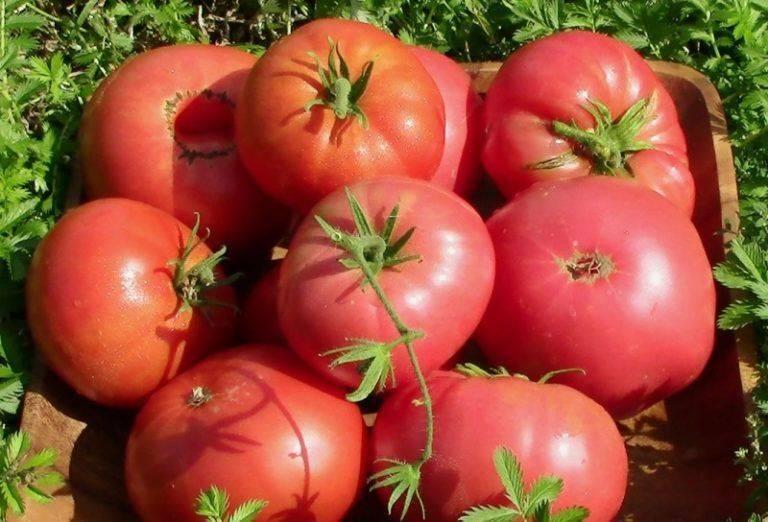 Томат «настена f1»: неприхотливый и урожайный