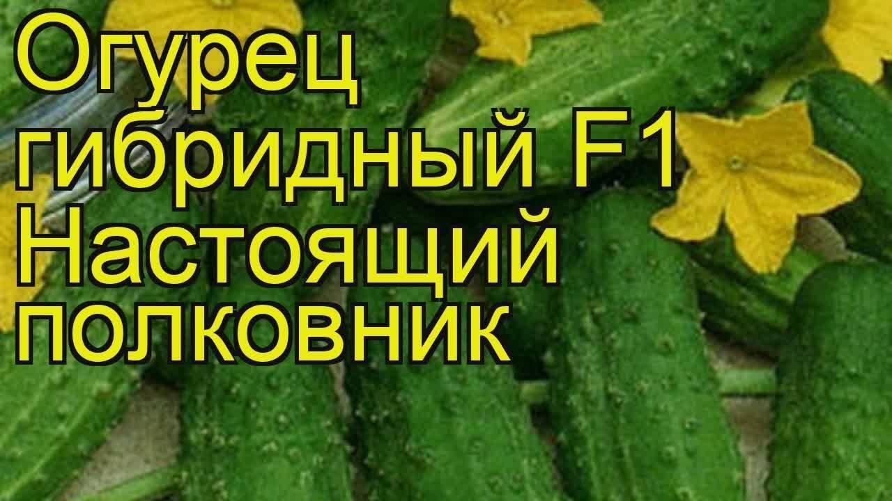 Сорт огурцов настоящий полковник f1: описание и характеристика, отзывы