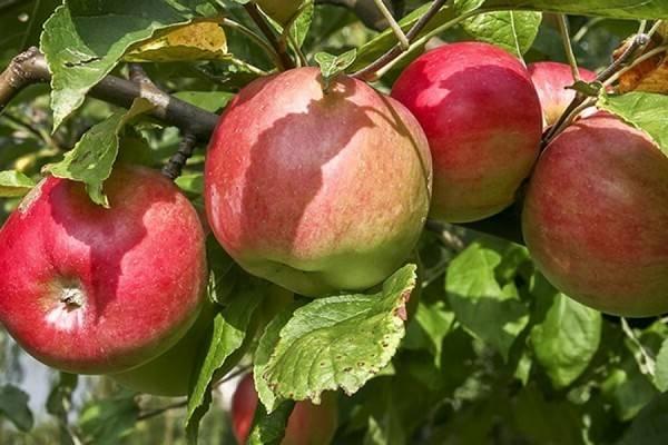 Сорт яблоня недзвецкого