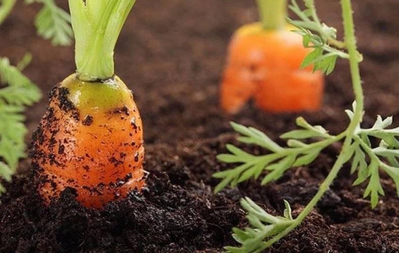 Чтобы вырастить сочный оранжевый корнеплод - как поливать морковь в открытом грунте?