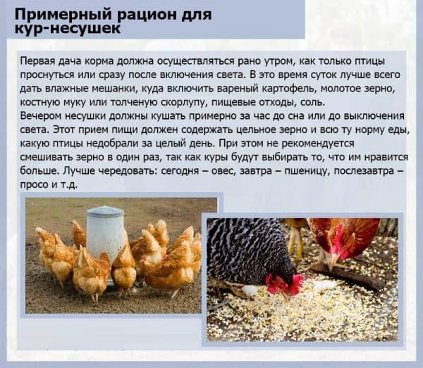 Сколько корма нужно курице несушке в день, нормы употребления?