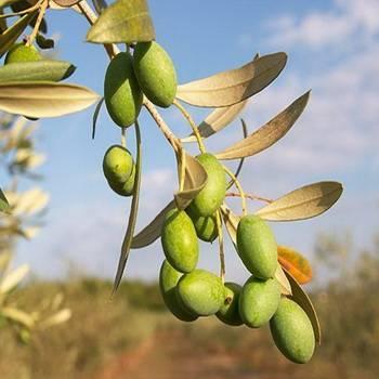 Оливковое дерево: выращивание в домашних условиях, уход, виды, история культуры.
