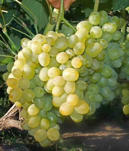 Сорт винограда супер экстра