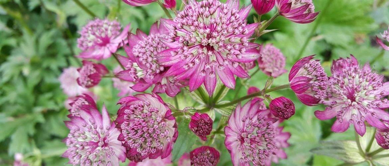 Цветок астранция. правила выращивания, посадки, ухода и фото сортов