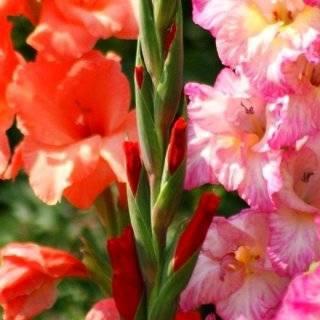Когда цветут гладиолусы