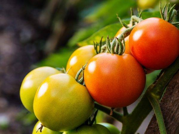 Неприхотливый томат «ямал» вырастет без ваших усилий: характеристика и описание сорта