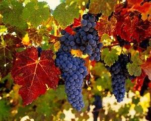 Как, когда и зачем опрыскивать виноград в весенний период?