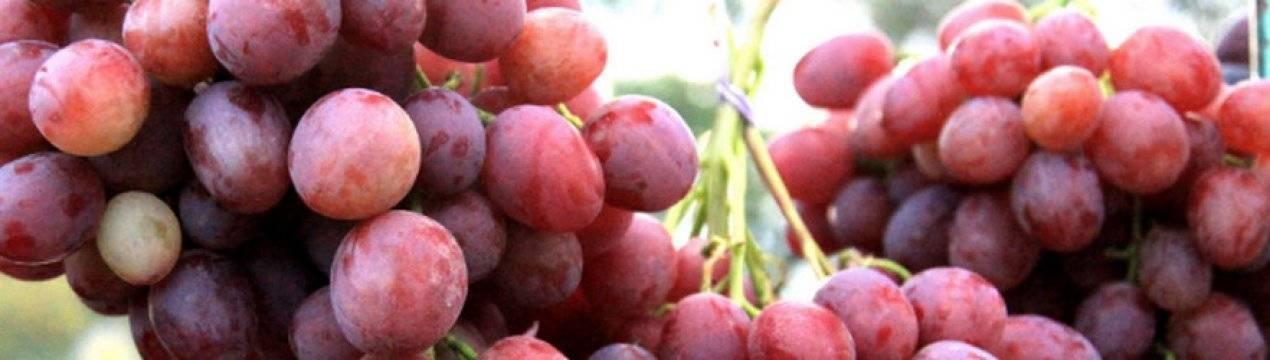 Описание и характеристики сорта винограда Анюта, посадка и уход