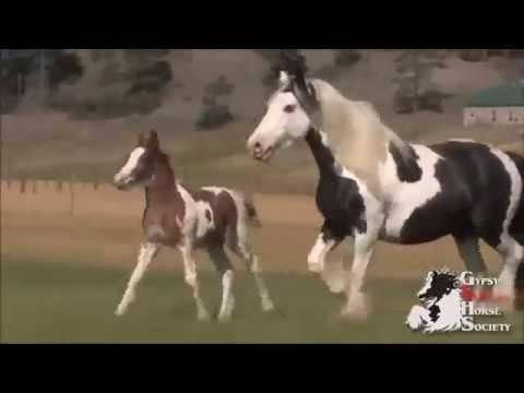 Голландская теплокровная лошадь