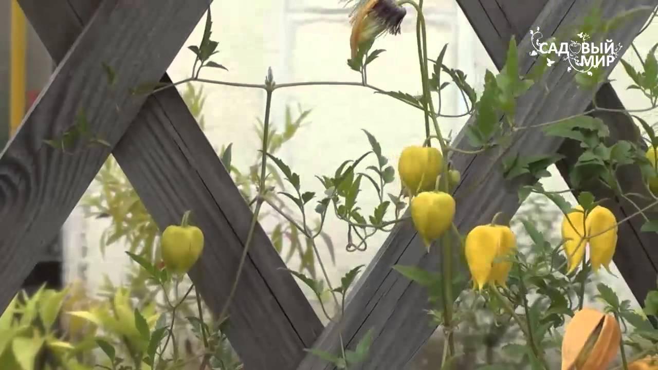 Инструкция: как вырастить клематис из семян в домашних условиях