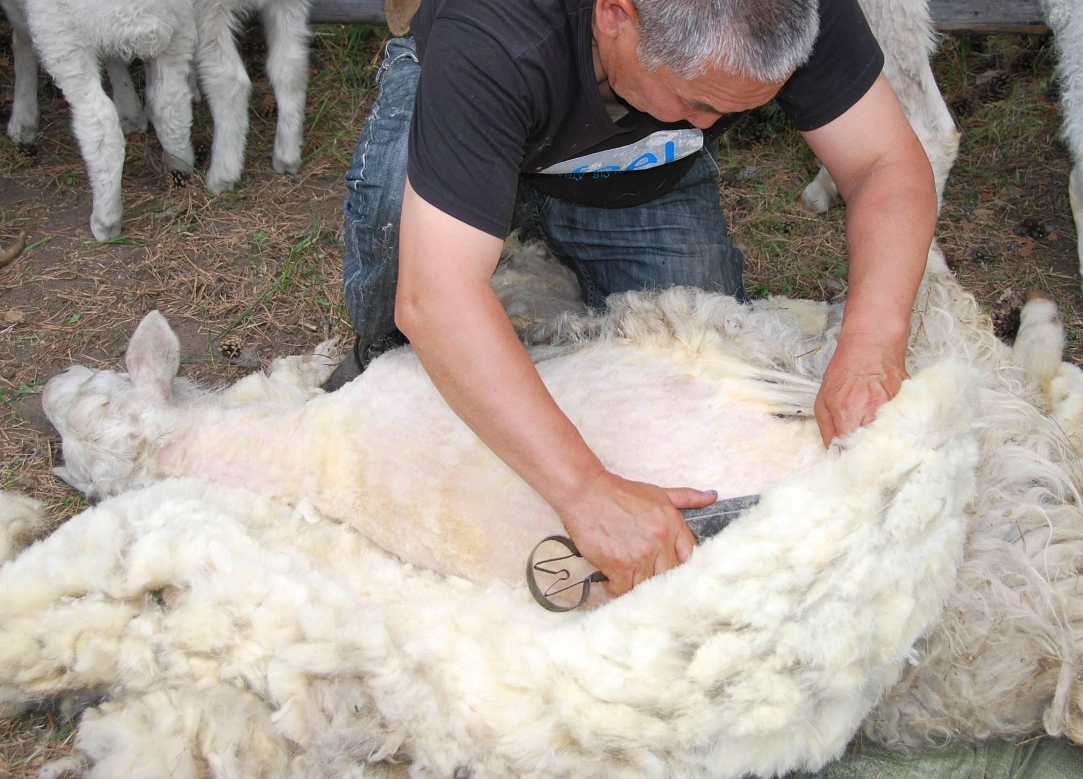 Как стригут овец?