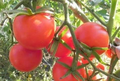 Томат беталюкс — описание сорта, урожайность, фото и отзывы садоводов
