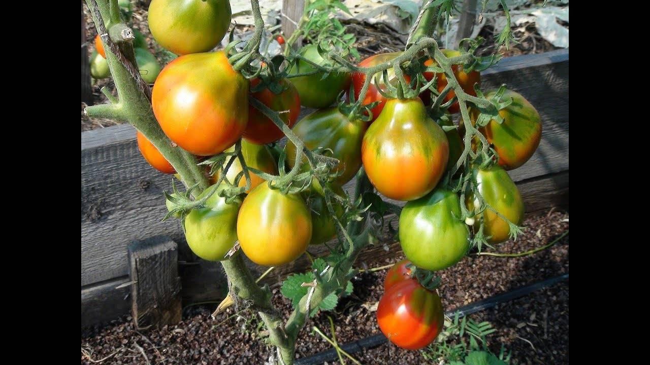 Самый урожайный гибрид — томат «паленка»: описание, фото, отзывы