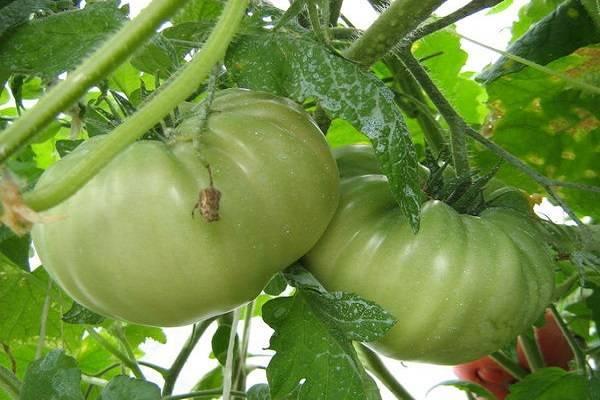 Урожайный сорт томата с высоким иммунитетом — «чемпион» f1: описание и фото