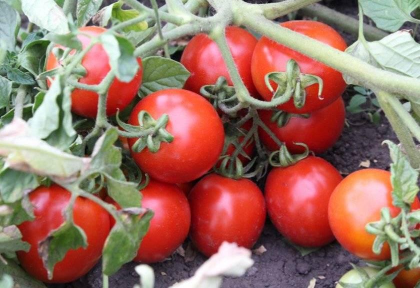 Характеристика и описание сорта томата Оля, его урожайность