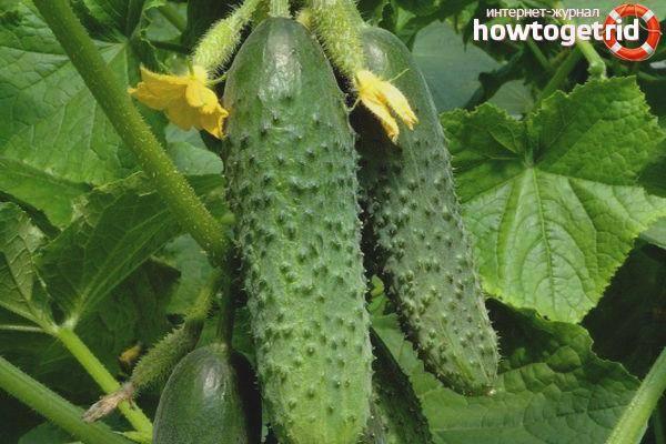 Описание сорта огурцов Хит сезона, рекомендации по выращиванию и уходу