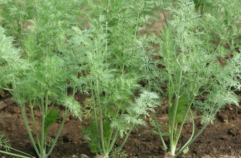 Как выбрать сорт укропа для различных условий выращивания