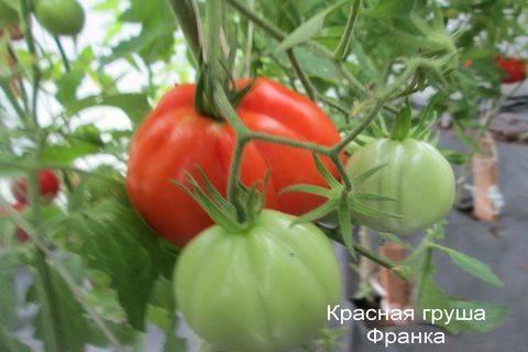 Детям нравится свежим, прямо с куста, описание сорта томата «розовая груша»