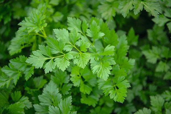 Лучшие сорта пряной зелени разных видов