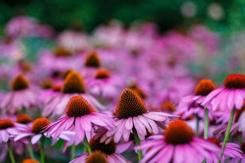 Эхинацея — польза и вред для здоровья