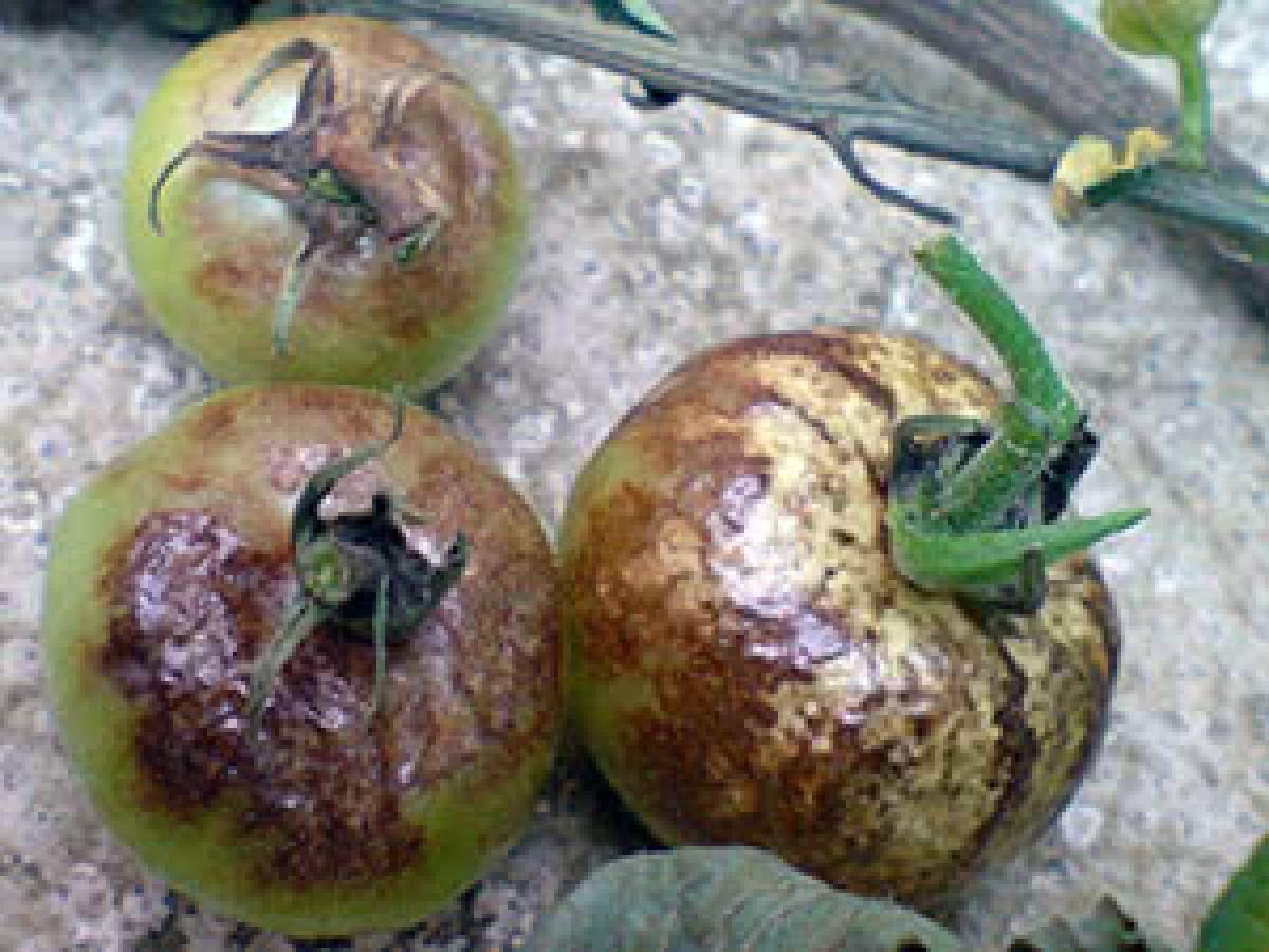 Гниет перец в теплице: причины, как спасти