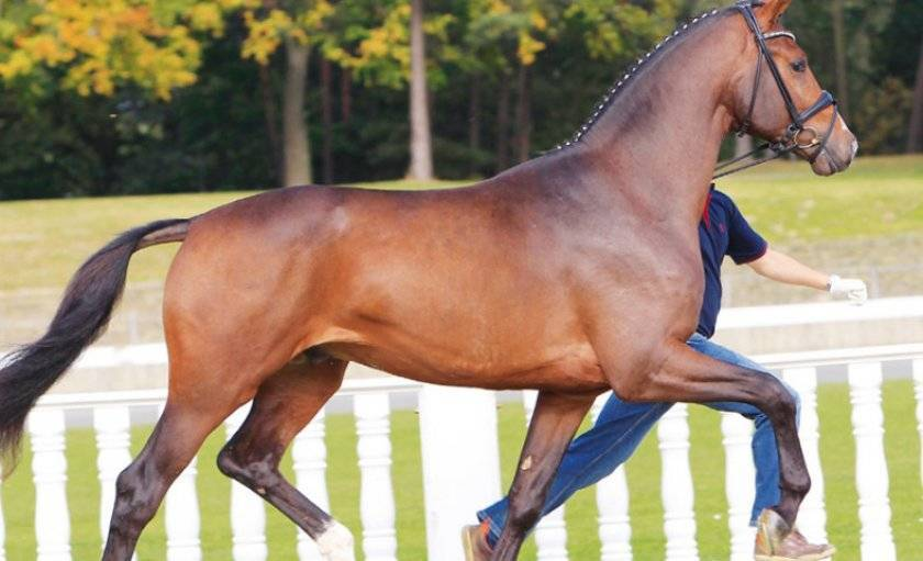 Описания и характеристика лучших пород верховых лошадей, история выведения и применение