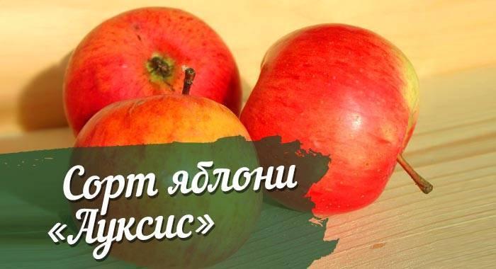 Яблоня ауксис – 8 особенностей и 10 советов по посадке и уходу