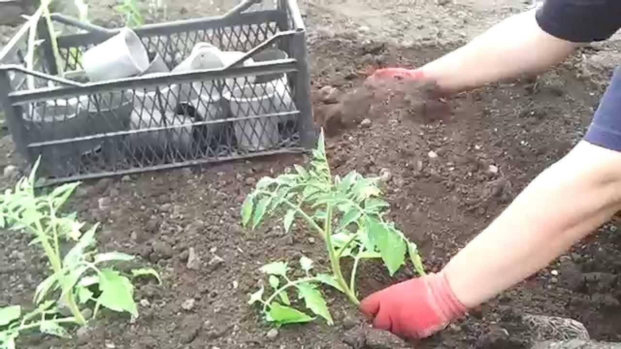 Как правильно посадить переросшую рассаду огурцов в открытый грунт или теплицу