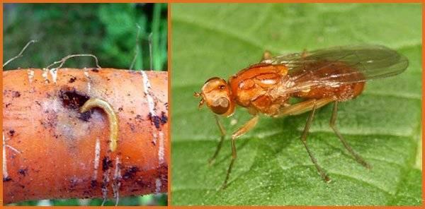 Как бороться с морковной мухой нашатырным спиртом