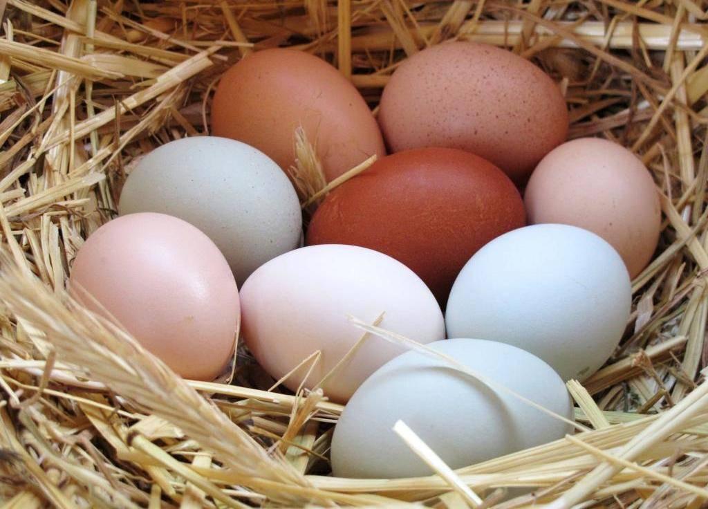 Все секреты яйценоскости кур