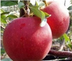 Слава победителям: особенности ухода и выращивания